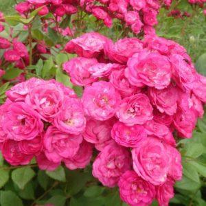Мускусные розы